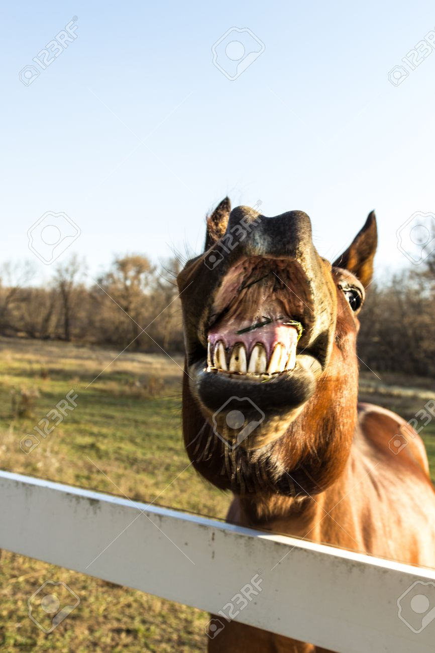 A Brown Horse With Funny Expression With Its Lips Open And Teeth Stock Photo Picture And Royalty Free Image Image 16267374