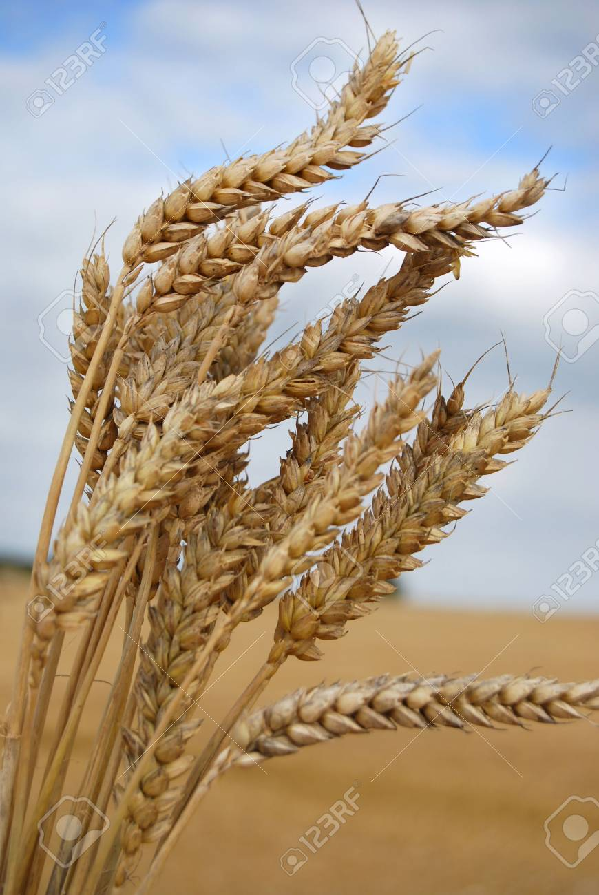Wheat from a harvested feild Stock Photo - 2444612