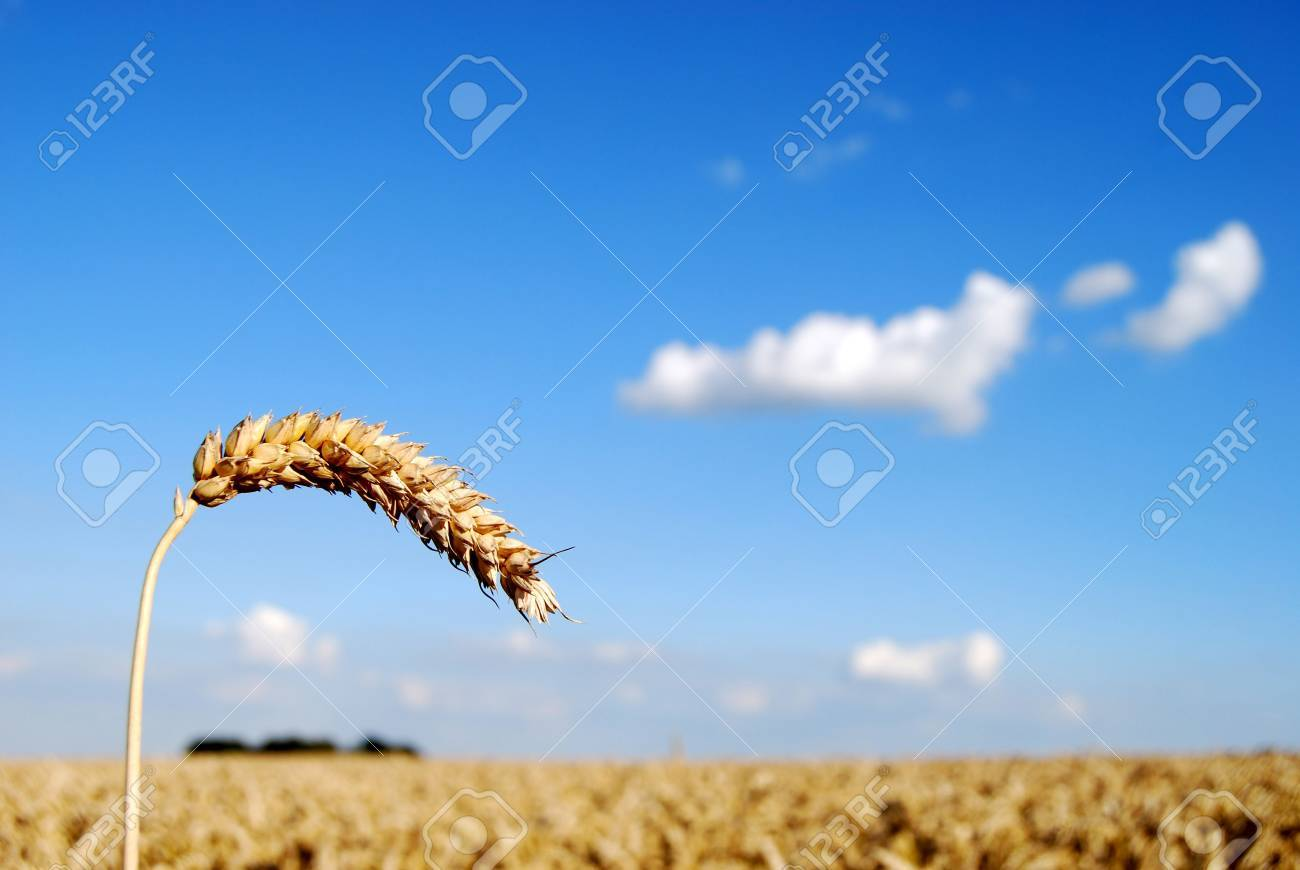 Focus on a single stem of wheat in a wheat field Stock Photo - 2444597