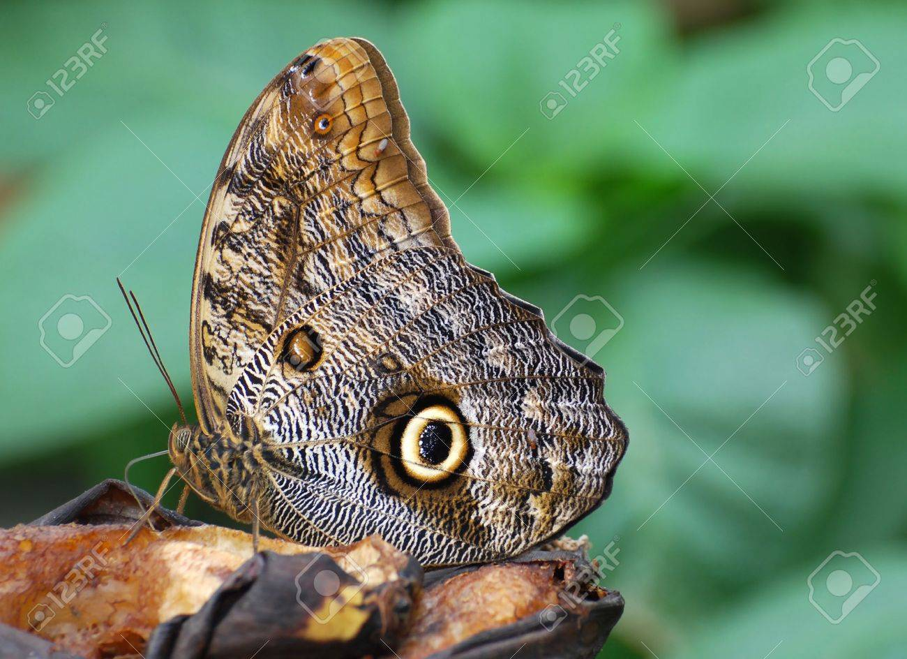 Butterfly feeding on a rotting banana Stock Photo - 2905106