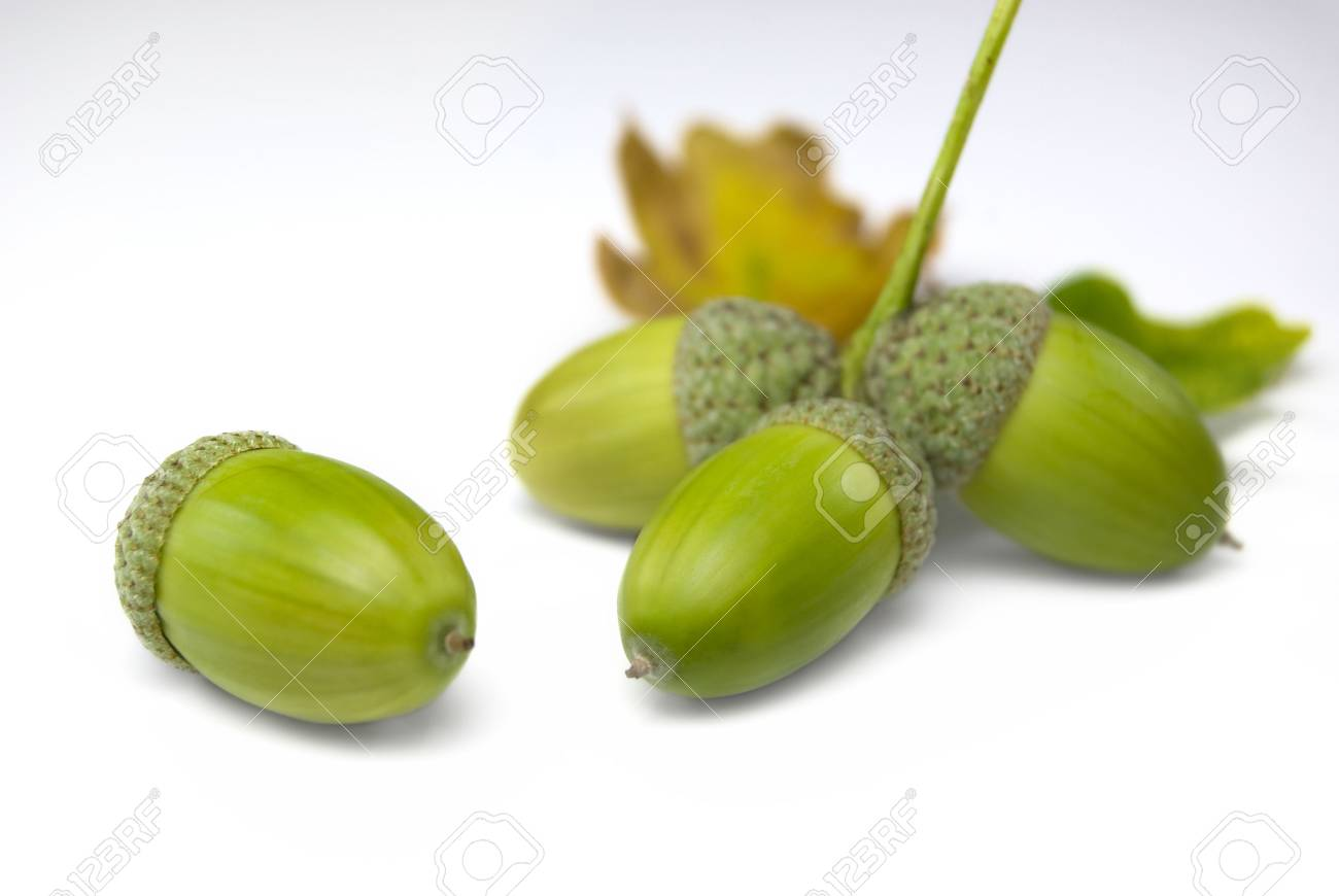 Groups of acorns isolated on a white background Stock Photo - 3647252