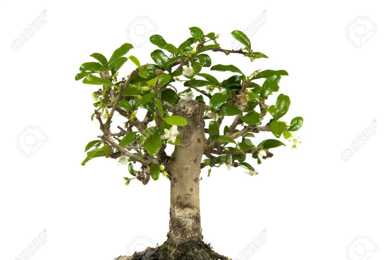 Bonsai tree in flower isolated on a white background Stock Photo - 5300460