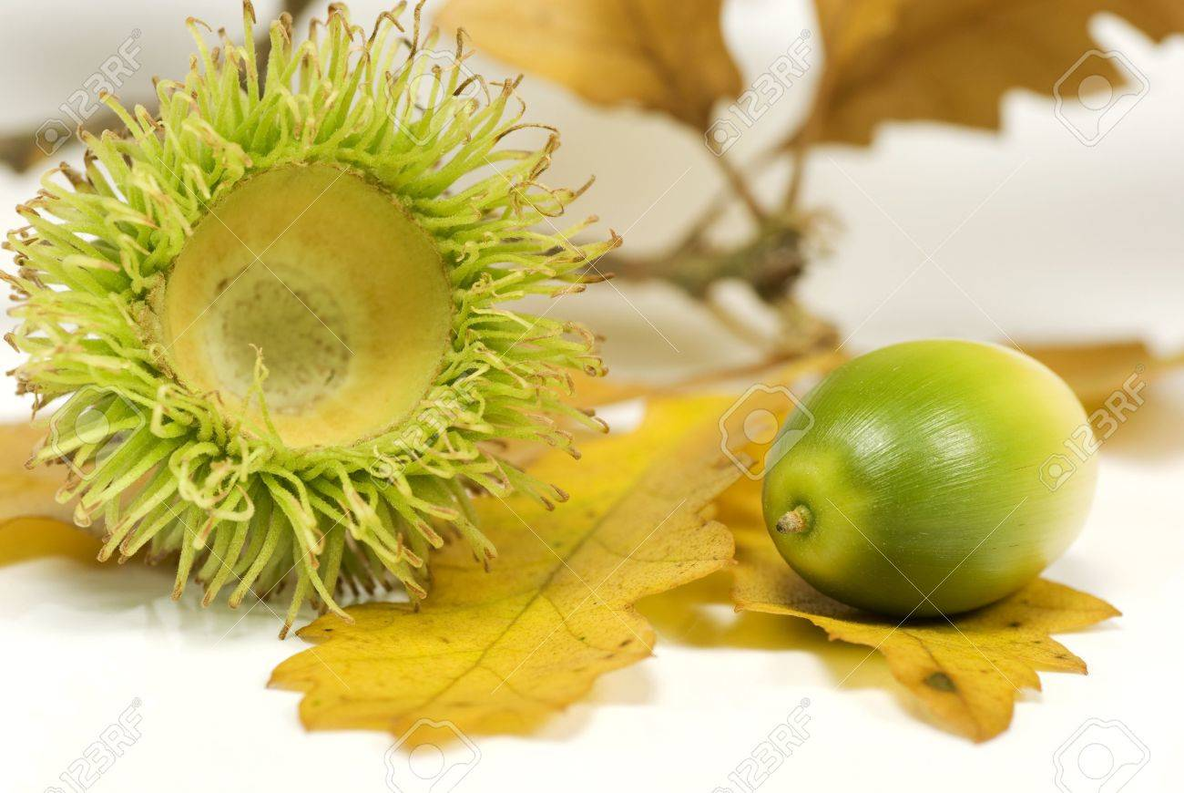 Acorn out of its spikey capule with oak leaves in the background Stock Photo - 5623977