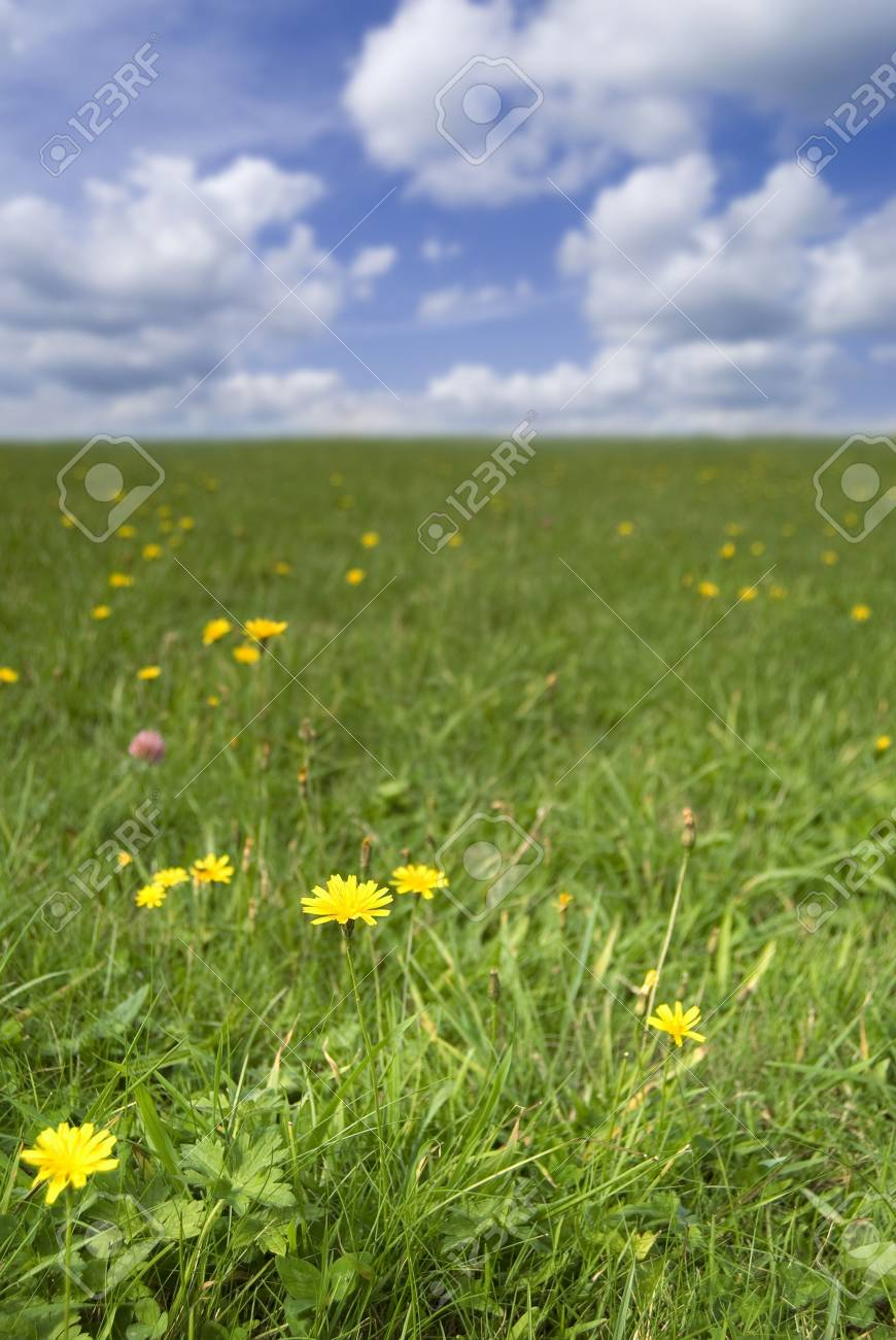 Grass field with dandelions in flower Stock Photo - 5623976