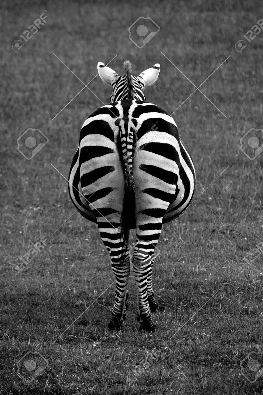 Black and white shot of a Zebra from the rear Stock Photo - 9019891