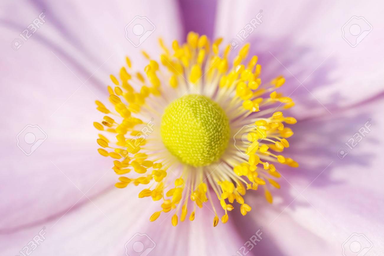 anemone macro, fleur rose avec des étamines jaune charm septembre