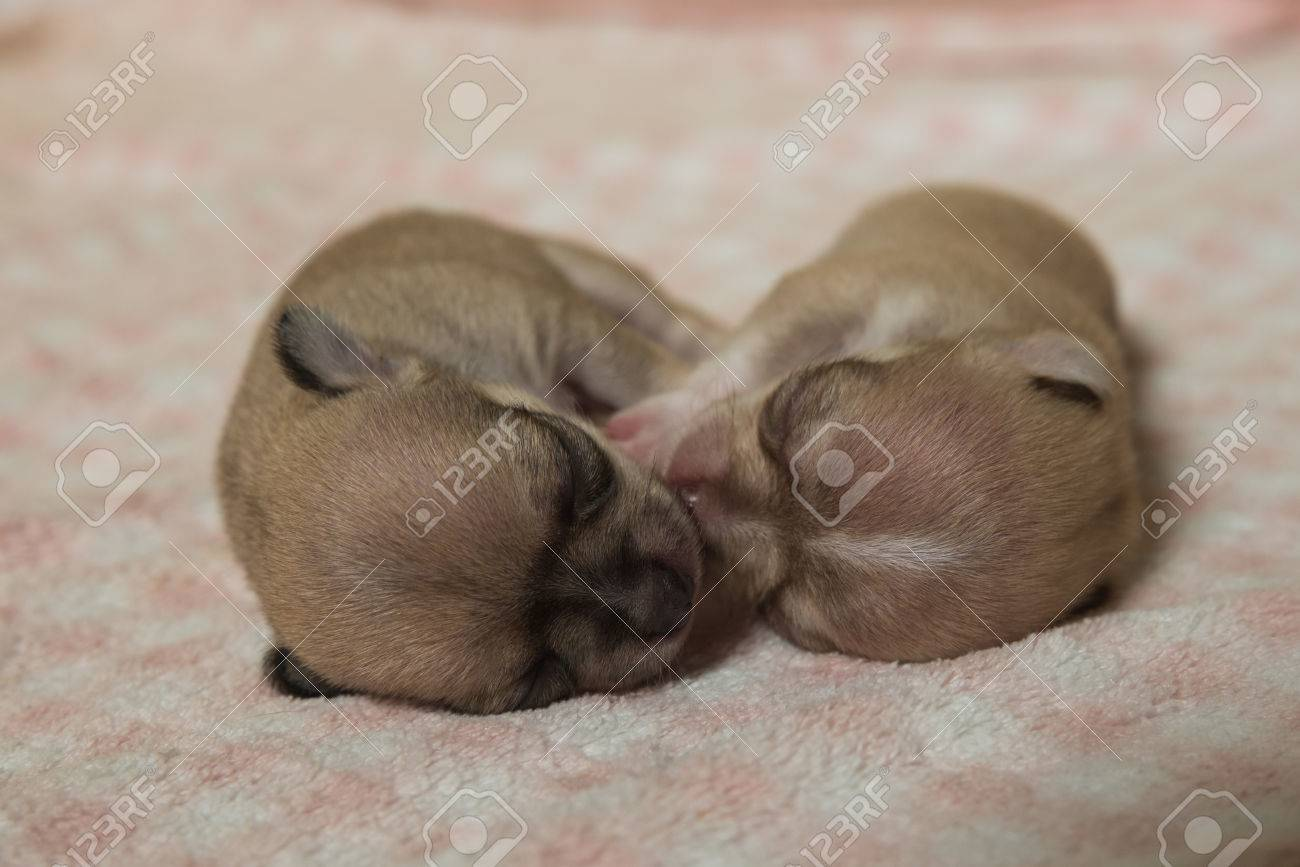 Chihuahua Puppies Sleeping On Pink Blanket Stock Photo Picture And