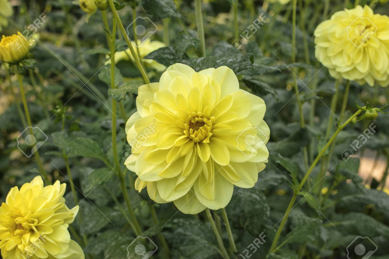 A Photo Of A Large Yellow Dahlia Flower On A Blurred Natural Stock