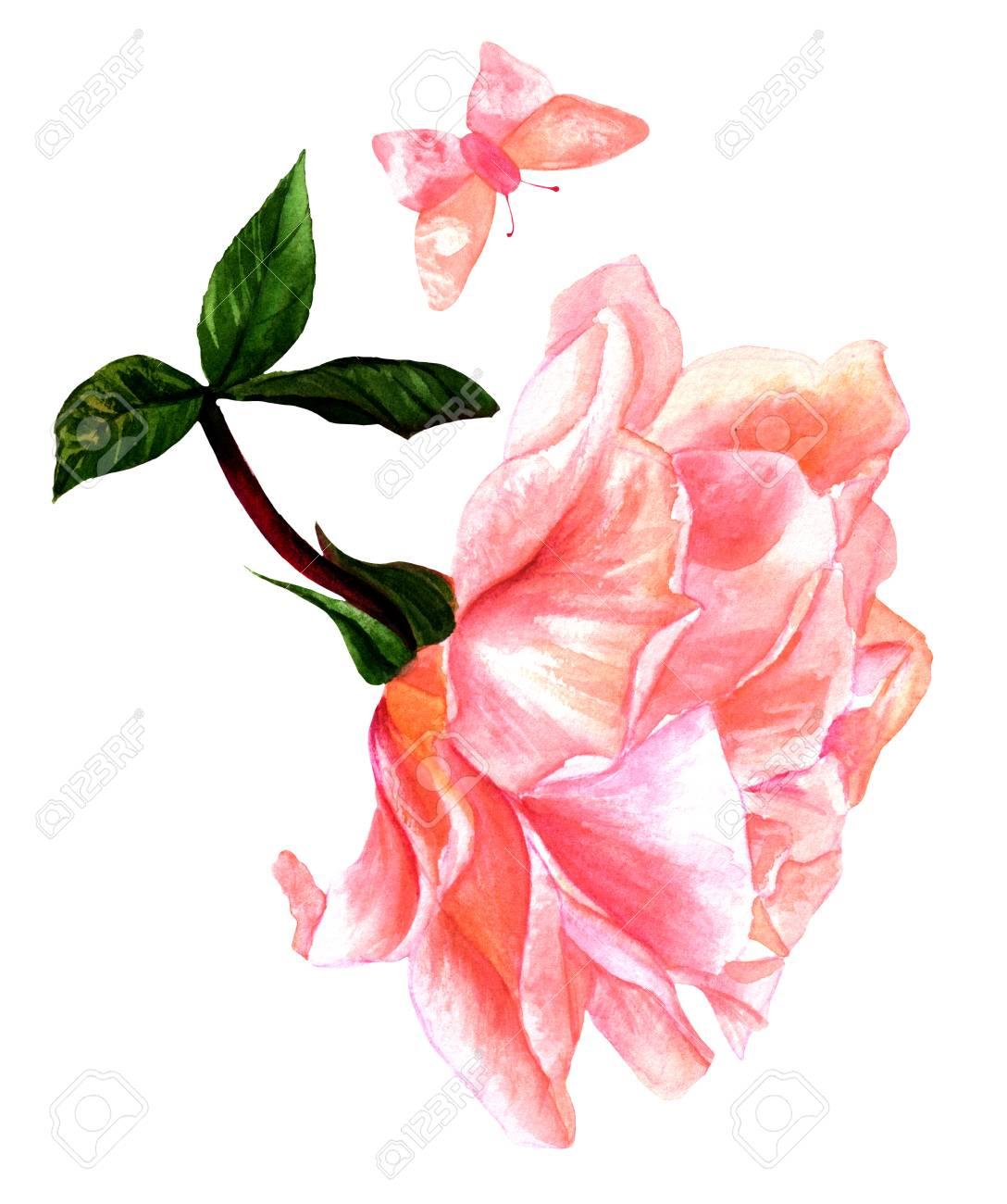 Dessin Aquarelle De Tendre Rose Fleur Rose Avec Papillon Isole Sur