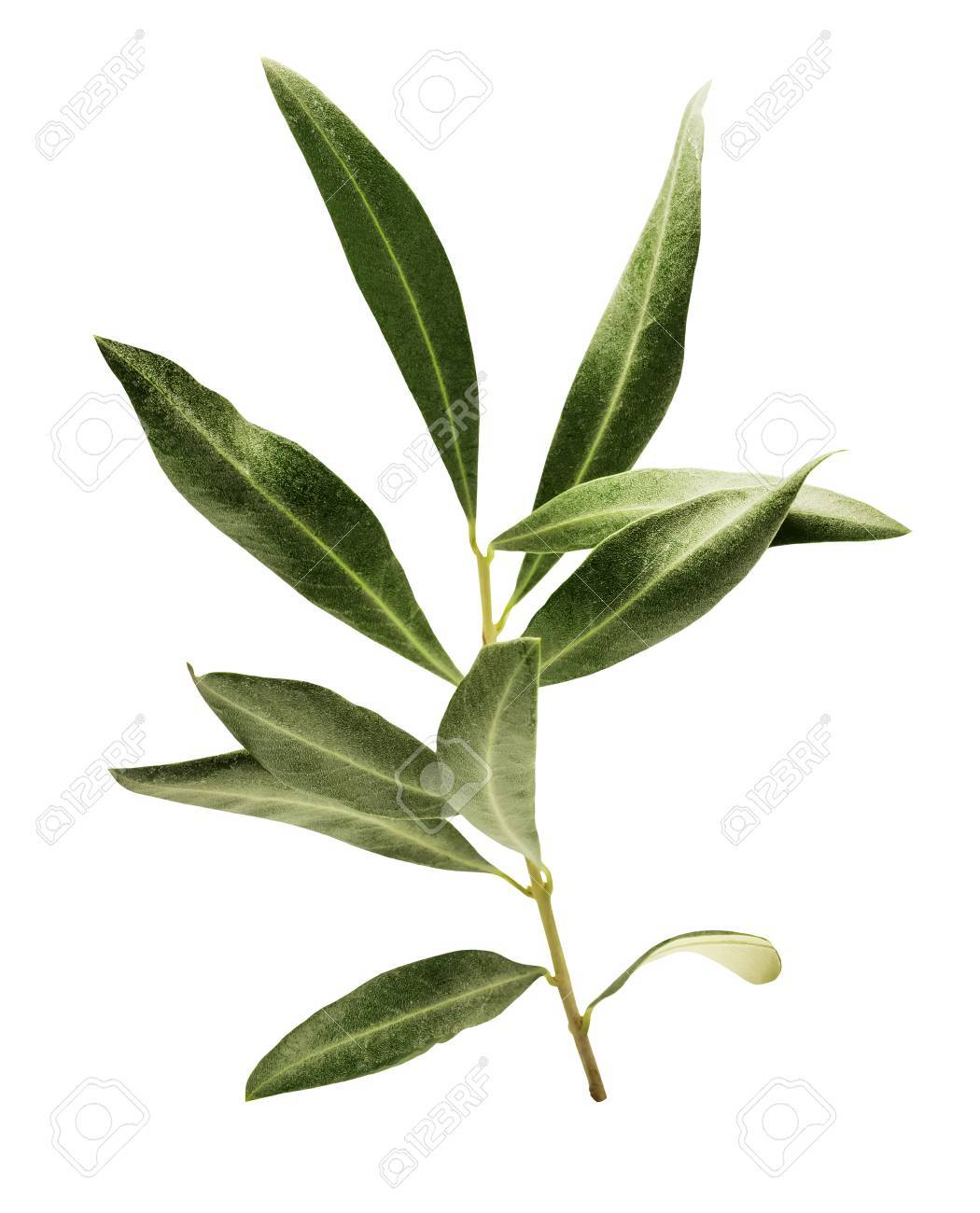 Photo of green olive branch, isolated on white - 74166108