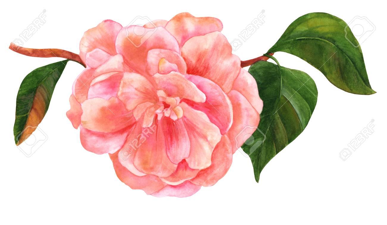 Dessin Aquarelle De Fleur De Camelia Rose Tendre En Fleurs Banque D