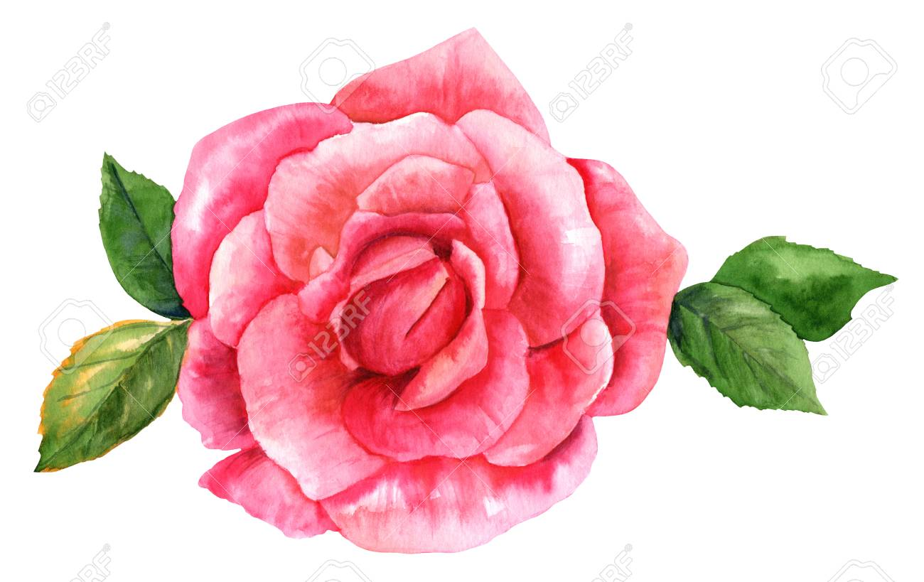 A Watercolor Drawing Of A Vibrant Pink Rose Flower Isolated Stock