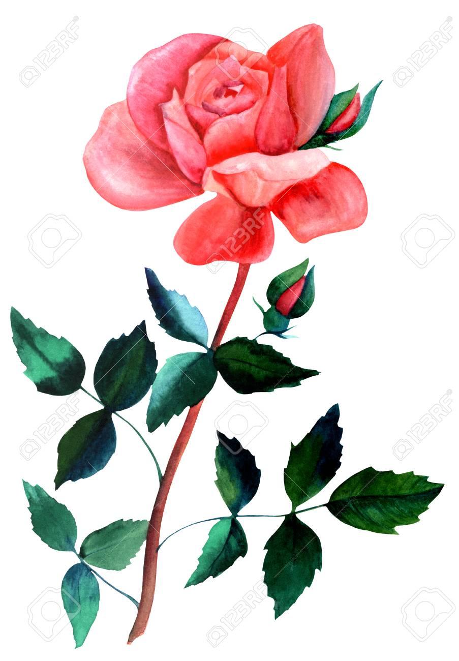 Aquarelle Dessin De Rose Rouge Isole Sur Blanc Banque D Images Et