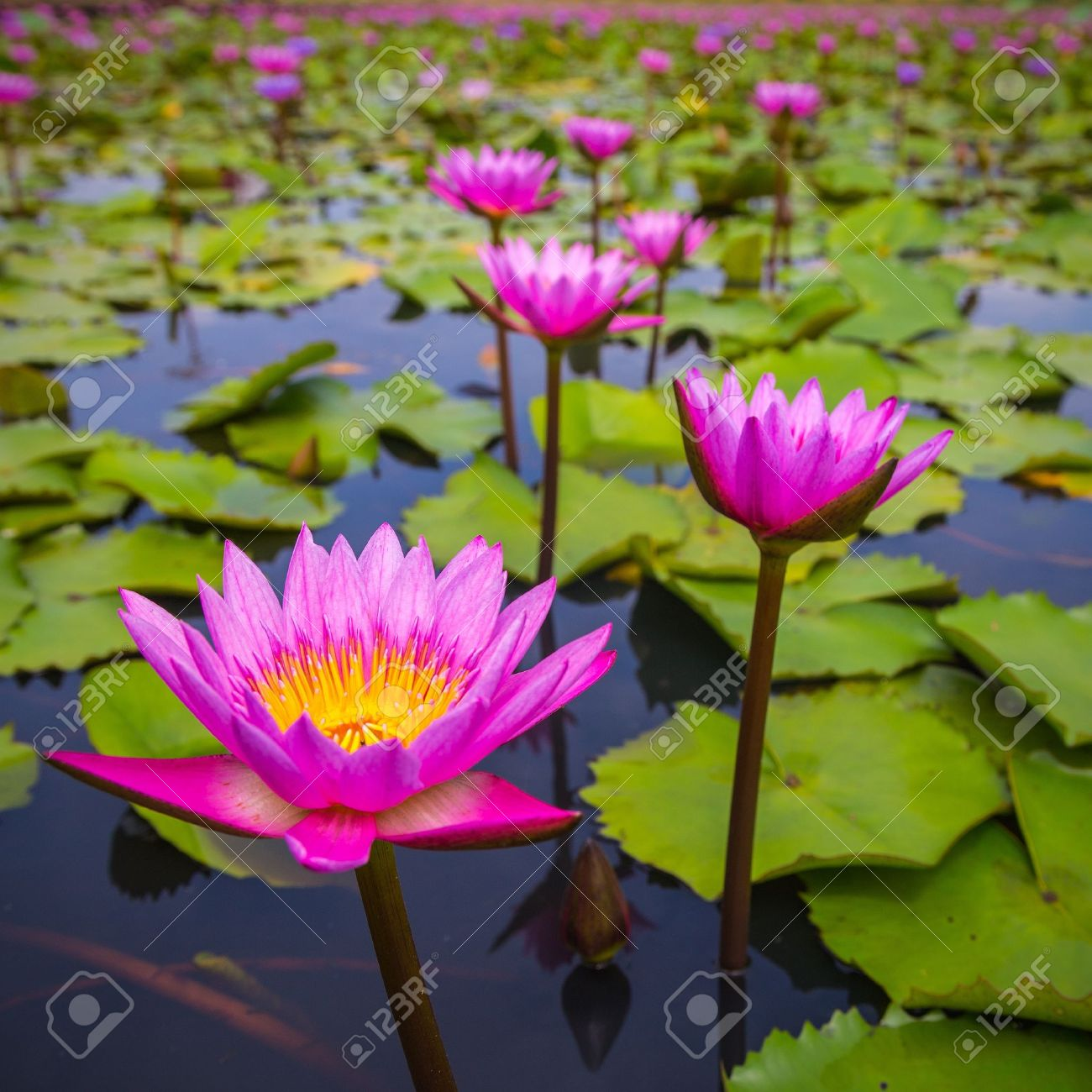 beauty pink lotus flower stock photo, picture and royalty free, Beautiful flower