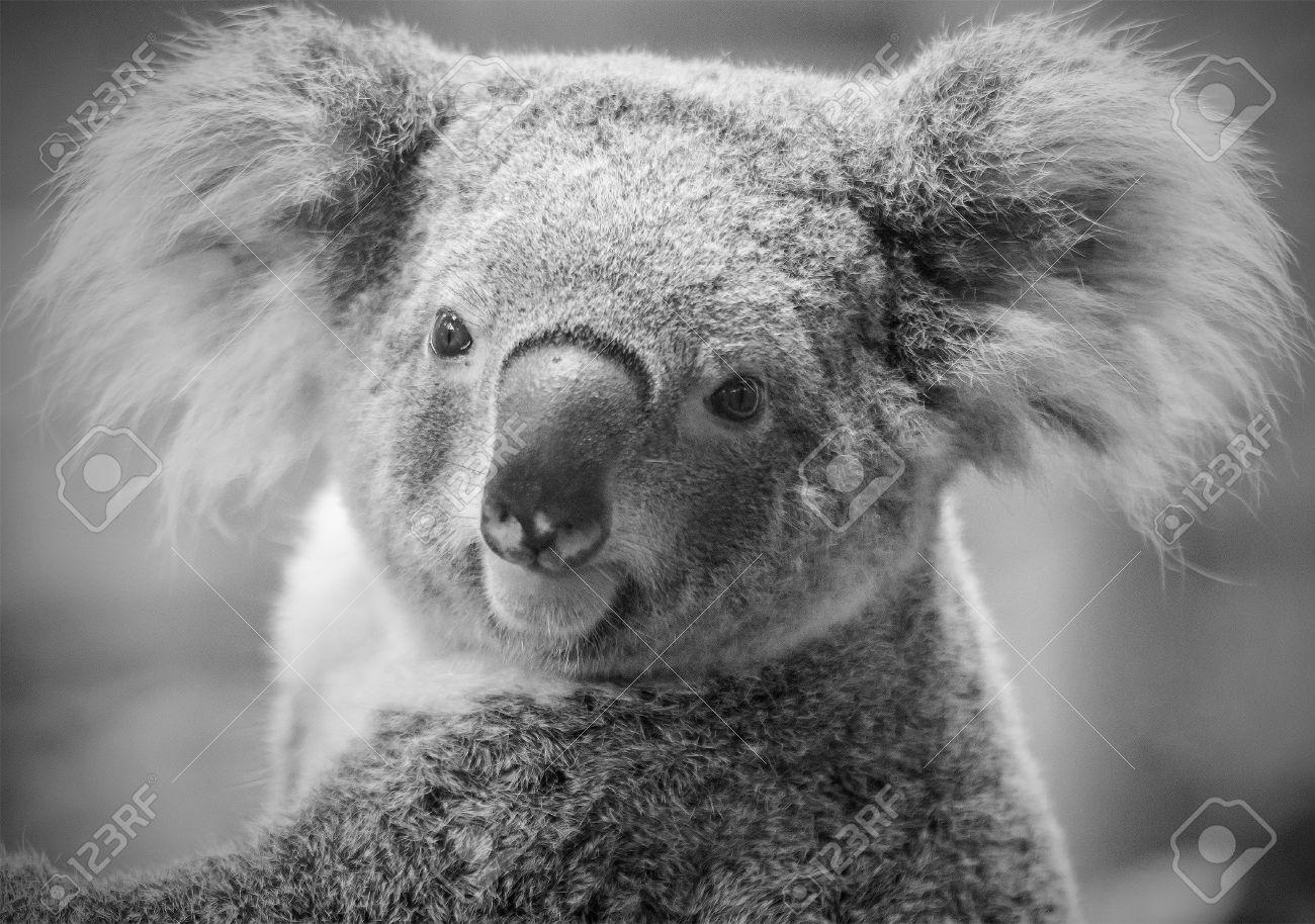 Australian koala bear black and white tone imagens 22498918