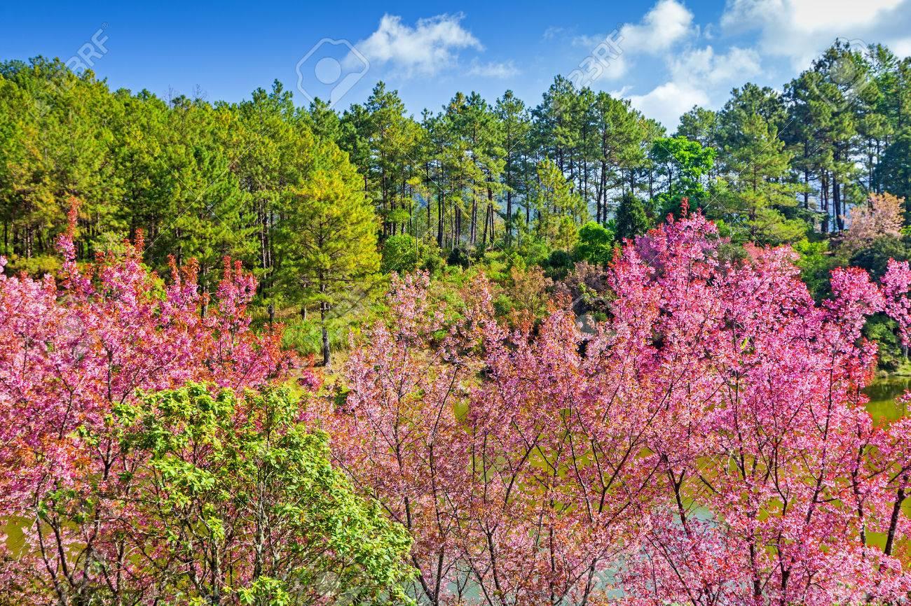 Beautiful cherry blossom pink sakura flower with pine tree stock beautiful cherry blossom pink sakura flower with pine tree background in chiangmai thailand stock mightylinksfo