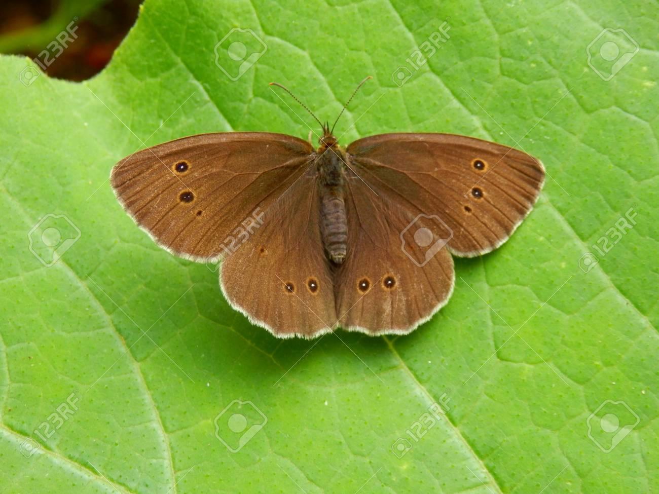 Ringlet Butterfly (Aphantopus hyperantus) on a Butternut squash leaf Stock Photo - 16821360
