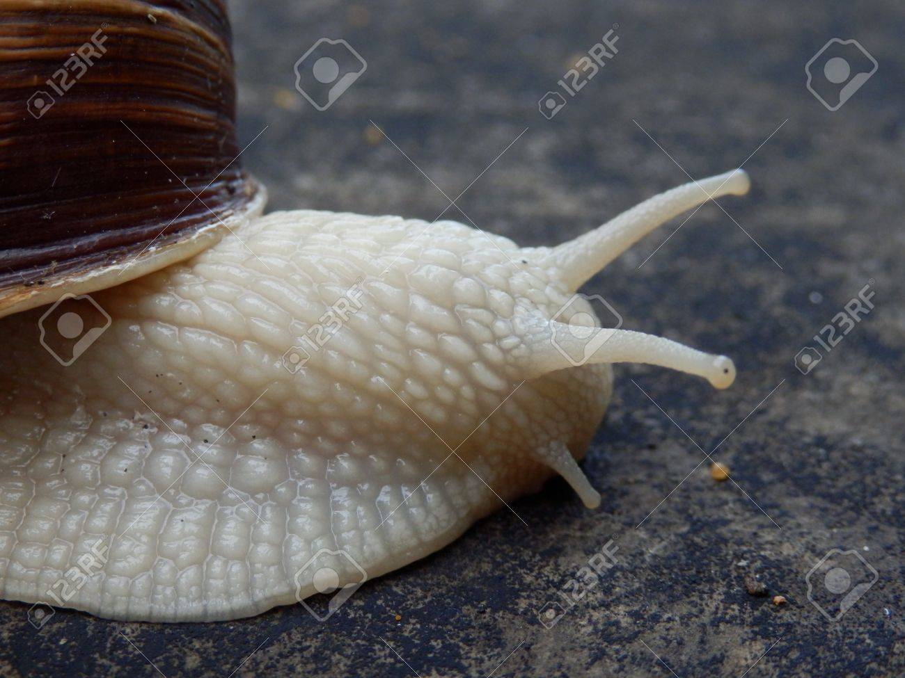 Close up of the head of a Roman Snail Stock Photo - 16898705