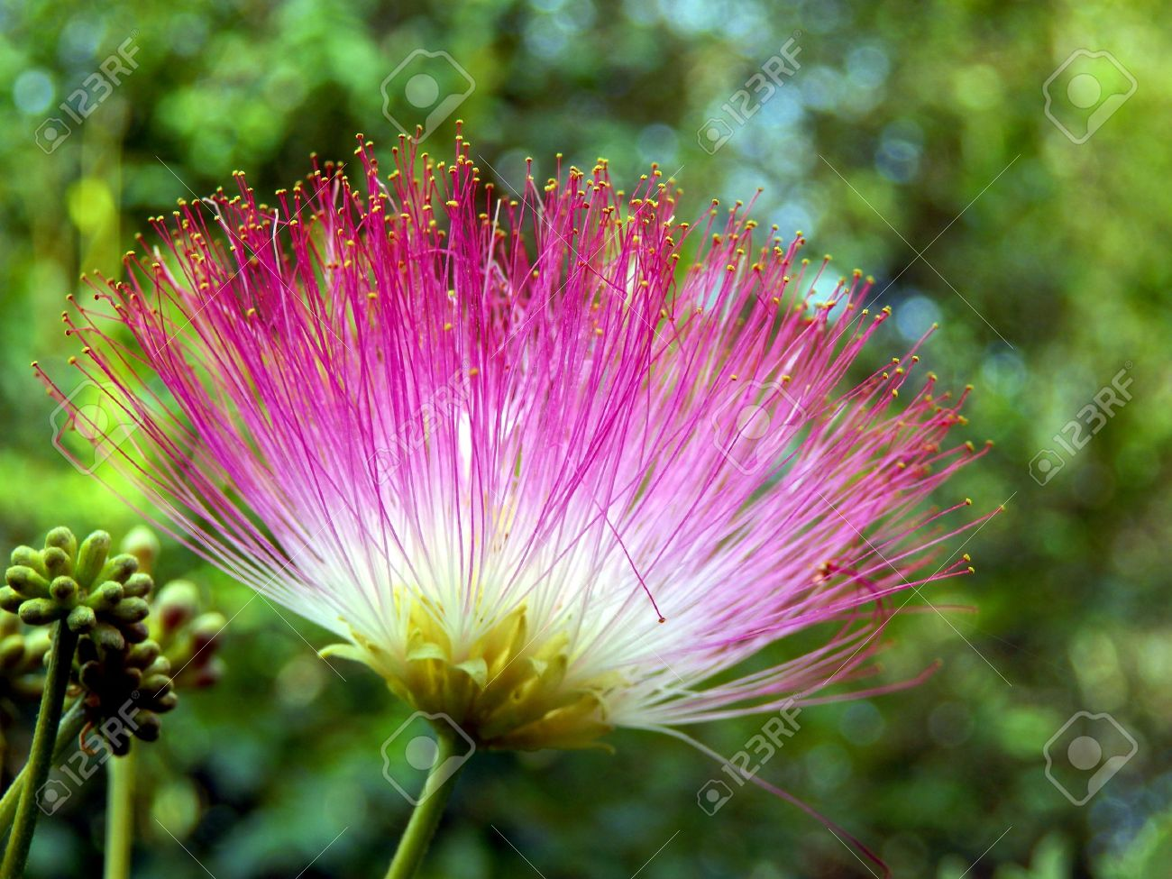Flower of the persian silk tree or mimosa albizia julibrissin flower of the persian silk tree or mimosa albizia julibrissin stock photo 16945484 dhlflorist Gallery