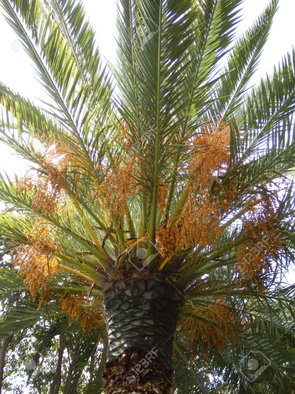 Crown Of A Date Palm Tree Phoenix Dactylifera Full Of Dates Stock