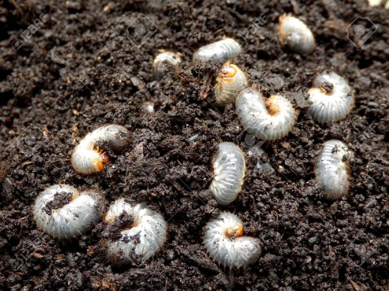 コガネムシ の 幼虫