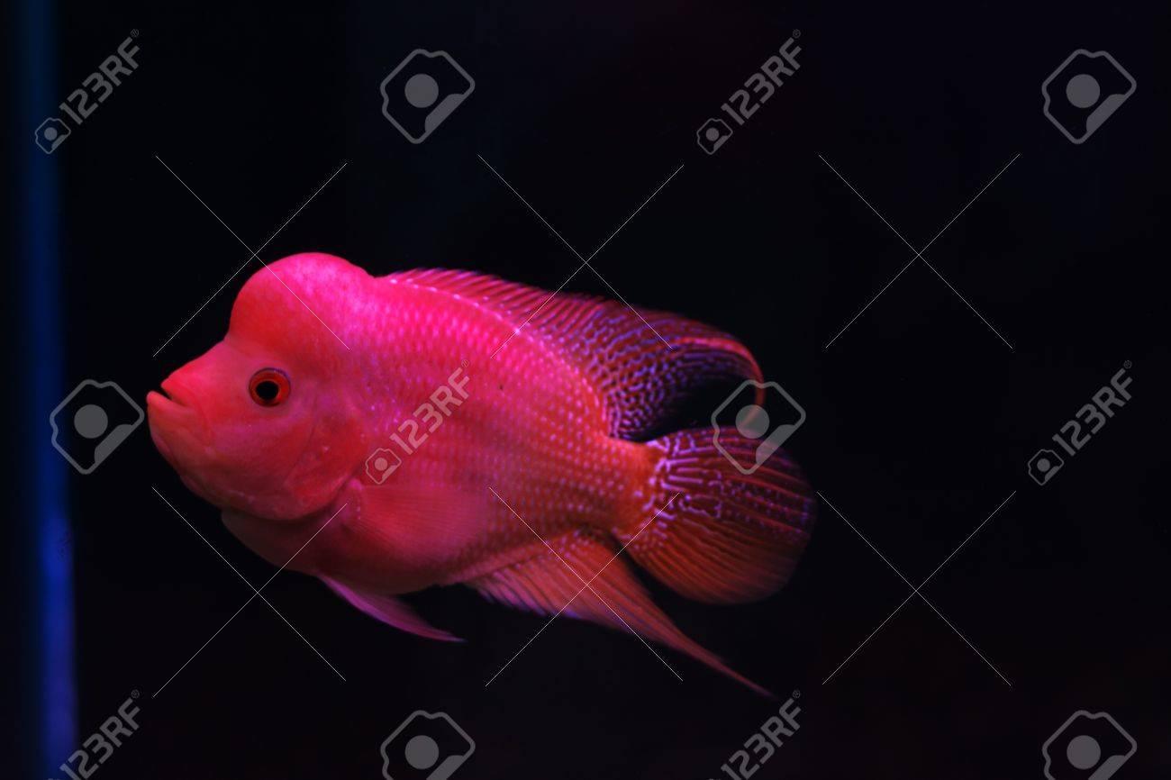 aquarium fish, flower horn fish on black background Stock Photo - 14187554