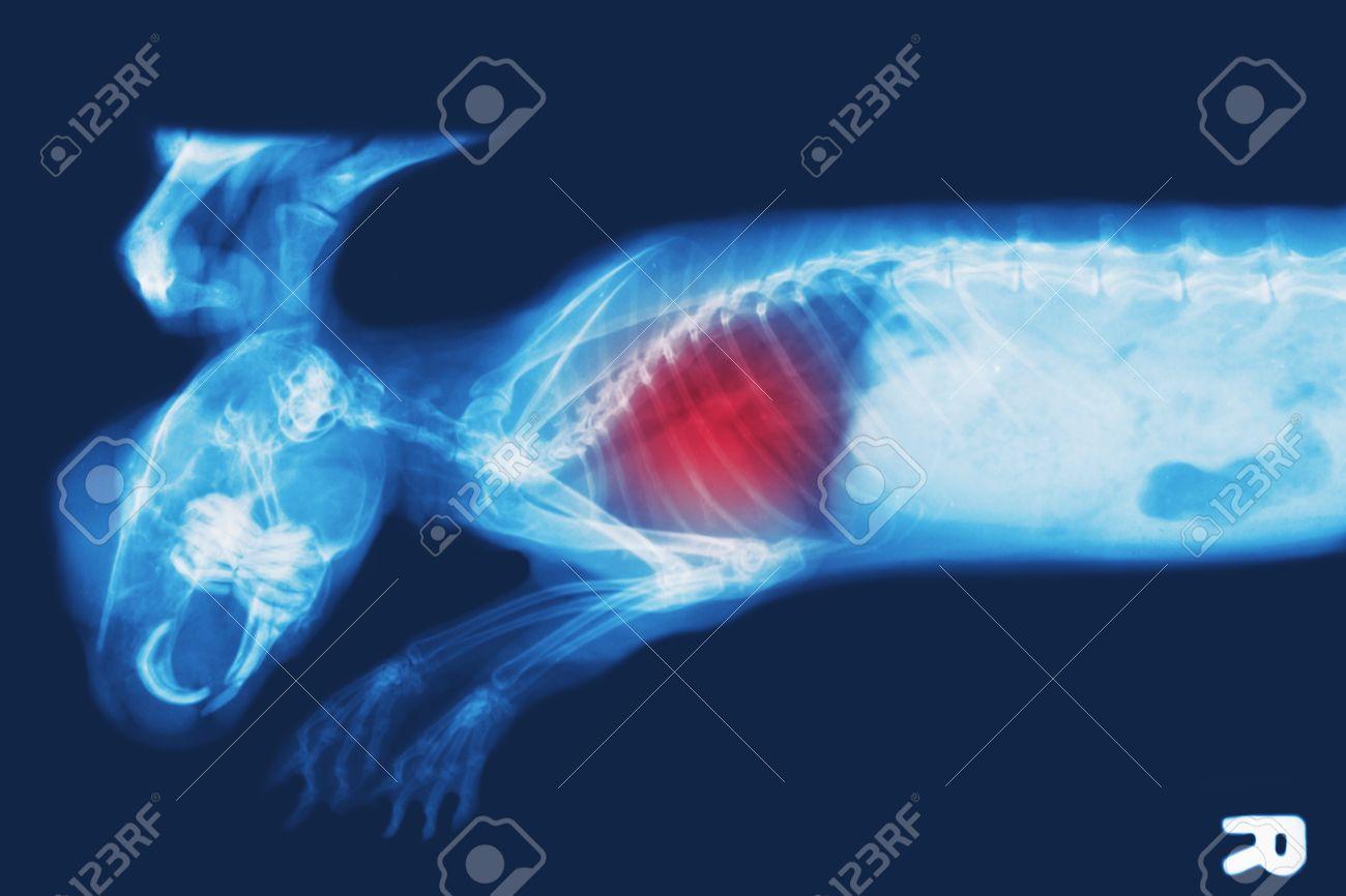 Imagen De Rayos X De Conejo, Las Radiografías De Tórax Muestran Una ...