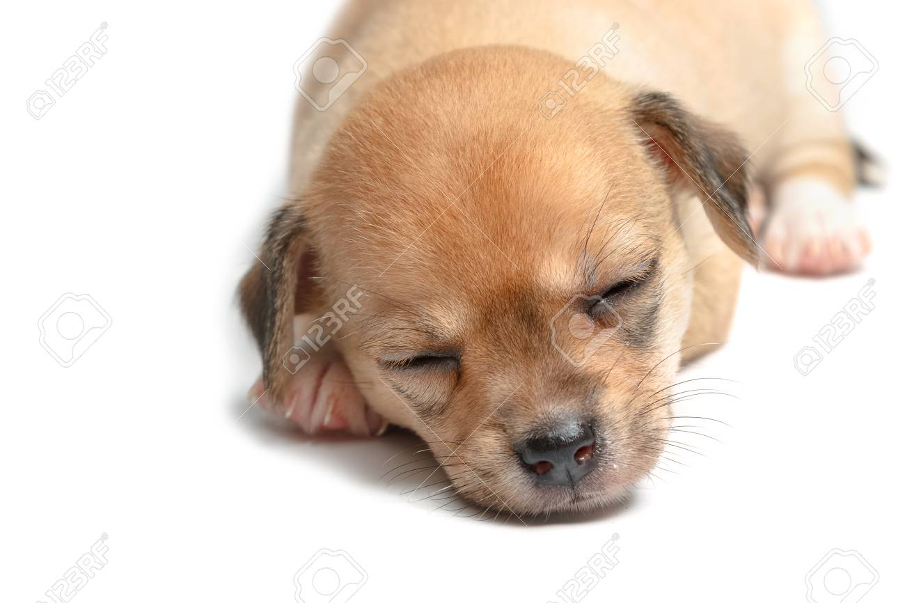 Sleeping Chihuahua Puppies On White Background Stock Photo Picture