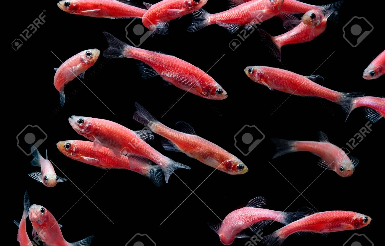 Zebra Danio Mutation, Zebra Fish,Glofish In Fresh Water Aquarium ...