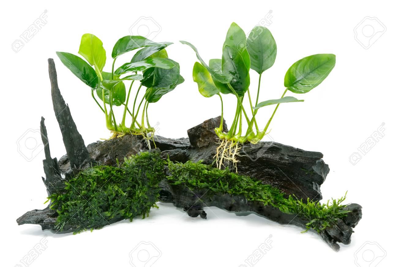 Anubias barteri aquarium plants and green moss on small driftwood - 87556854
