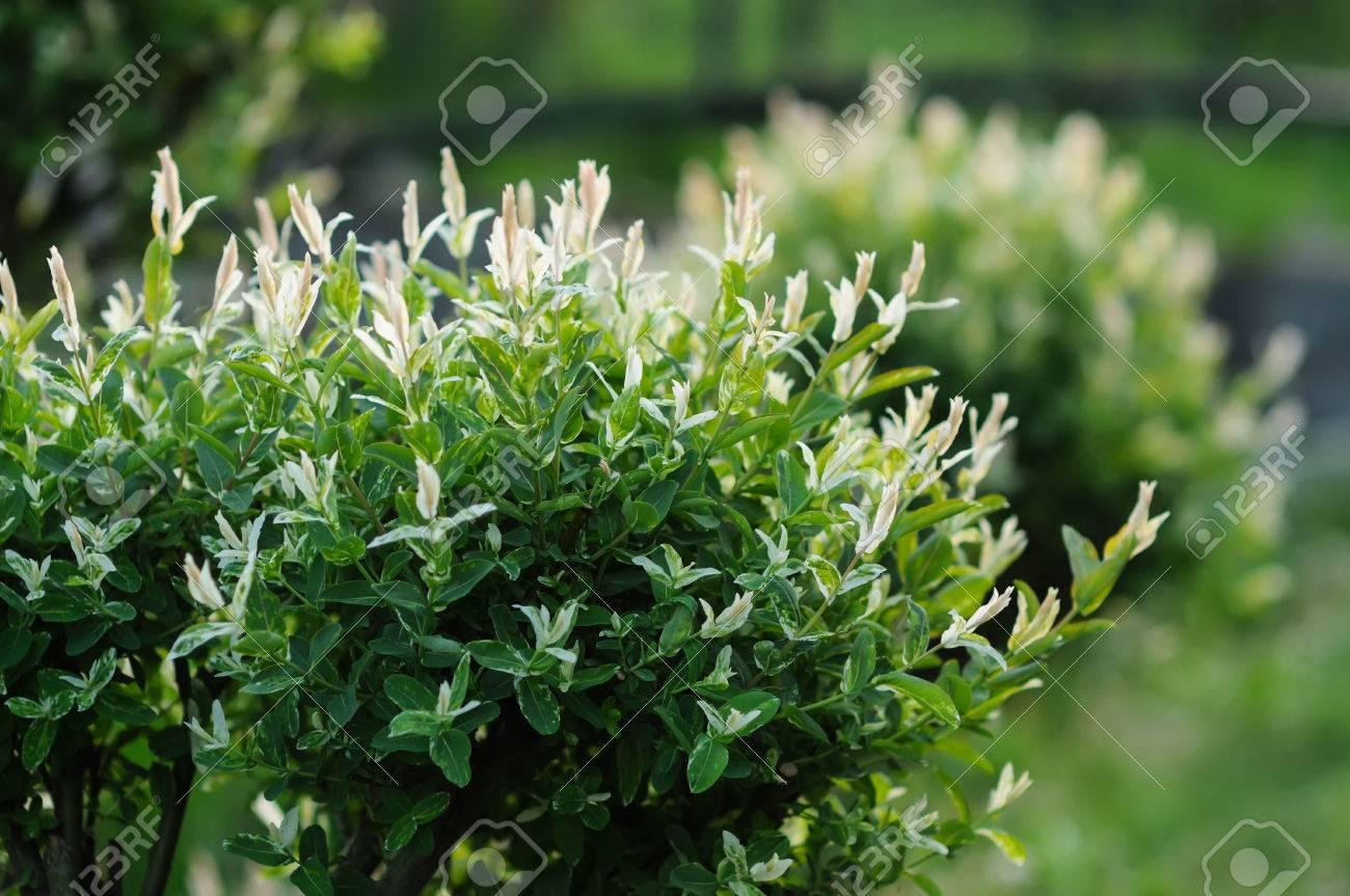 Flowering Bush In Decorative Garden Park White Flowers In Spring