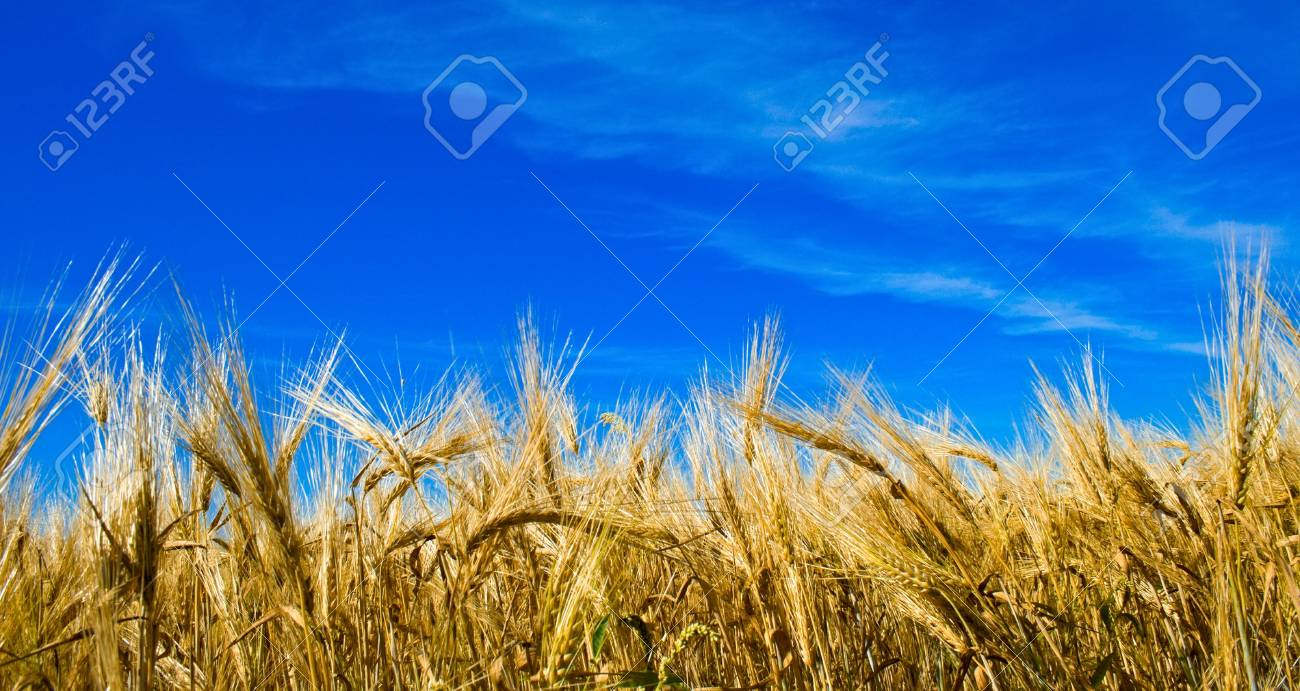 rye against the backdrop of a bright summer sky Stock Photo - 3728332