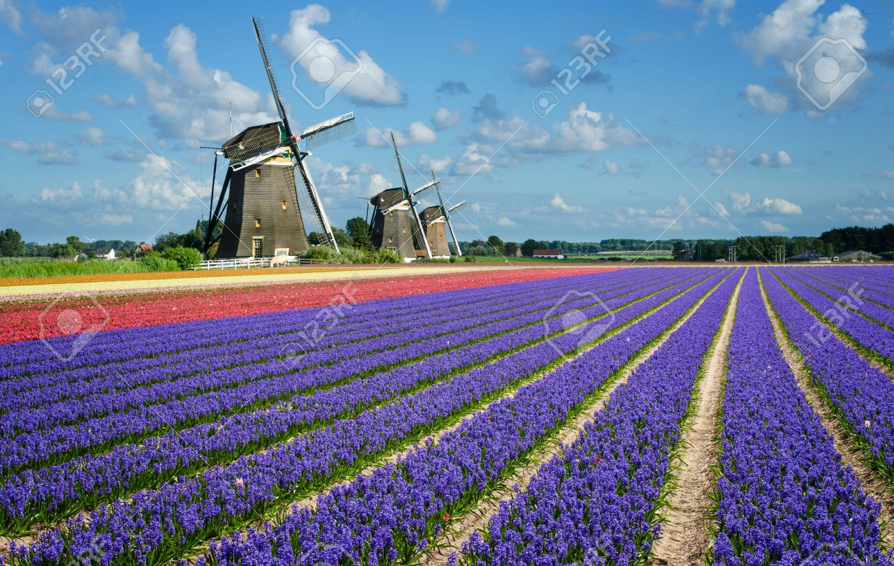 purple and pink hyacinth flowers in front of three windmills in the bulb region in holland