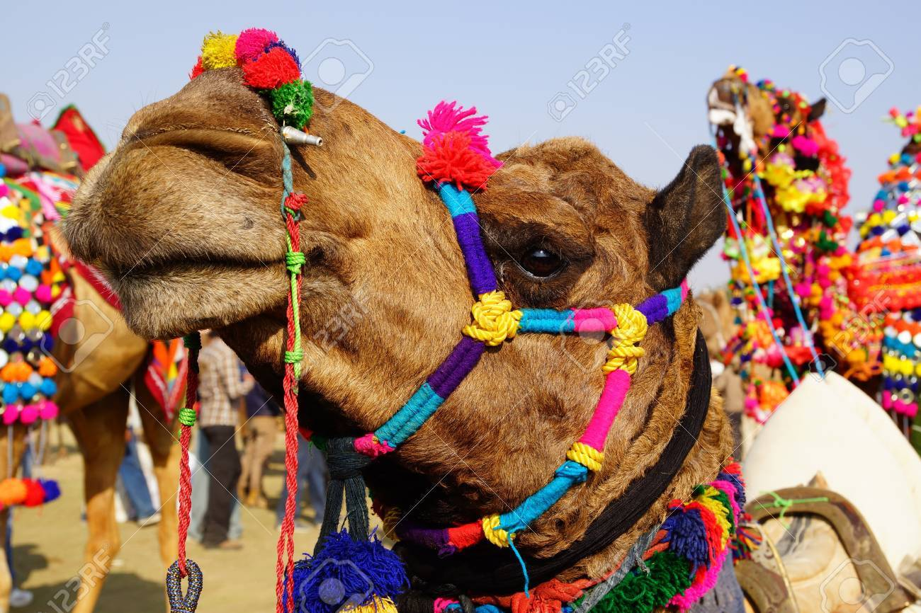 Camel Festival in Bikaner, India Stock Photo - 13019901