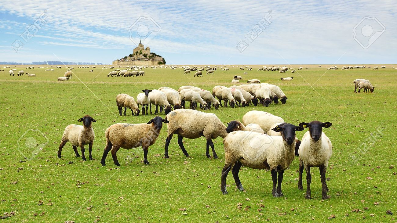 A flock of sheep on the background Mont Saint Michel abbey Stock Photo - 15167817