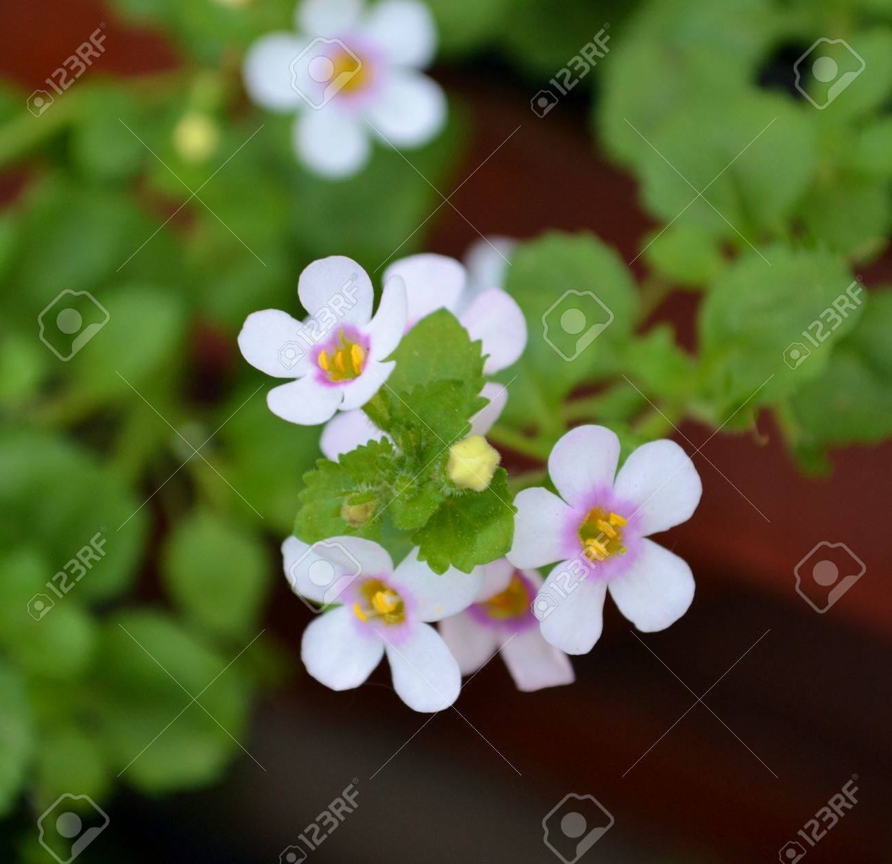 Small White Flowers With Pink Center Stock Photo Picture And