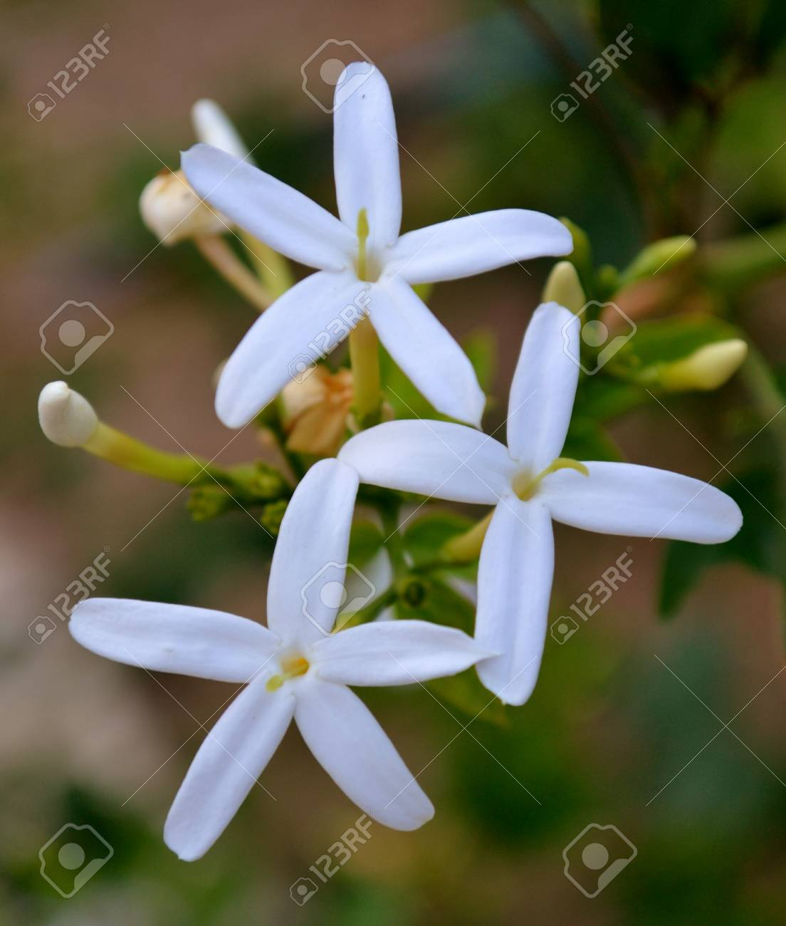 White Jasmine Flowers Stock Photo Picture And Royalty Free Image
