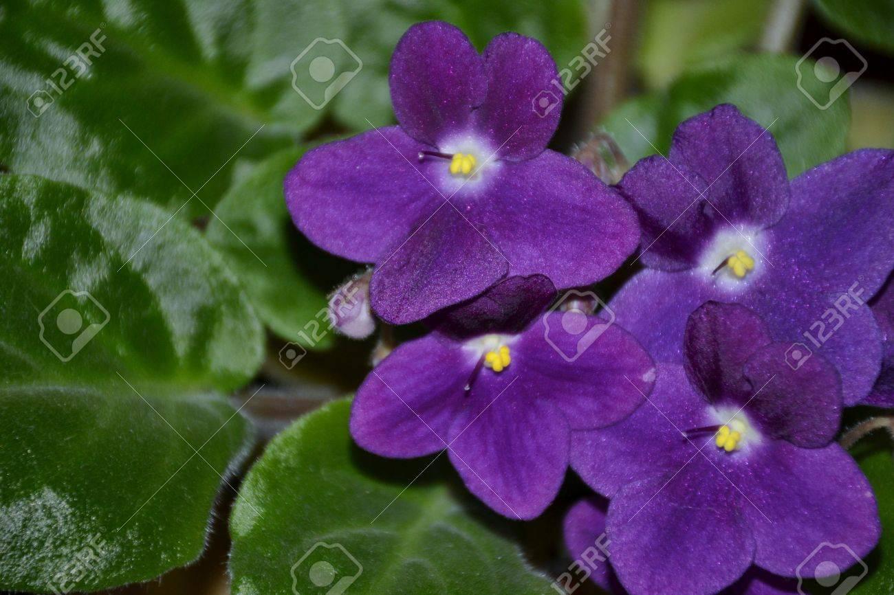 Detail De La Fleur Violette Africaine Avec Des Feuilles Banque D