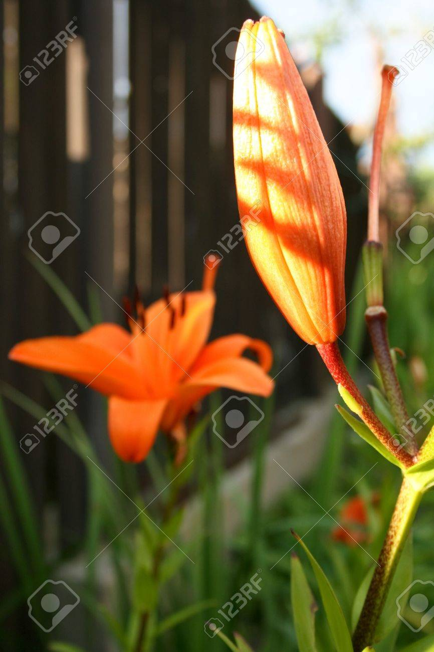 Orange lily flower life cycle at once bud flower shed blossom orange lily flower life cycle at once bud flower shed blossom pistil izmirmasajfo
