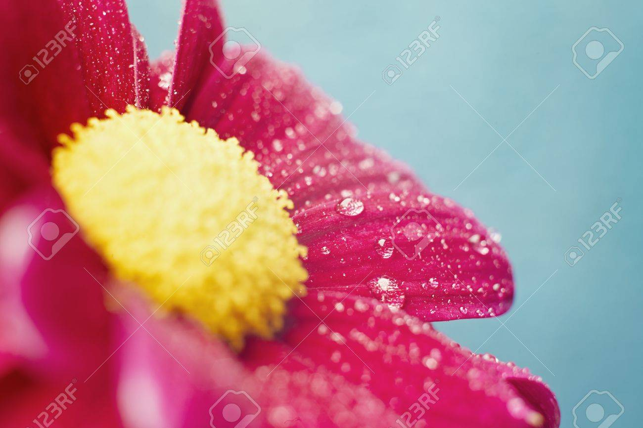 Beautiful dewy chrysanthemum flowers on blue background with copyspace Stock Photo - 12719630