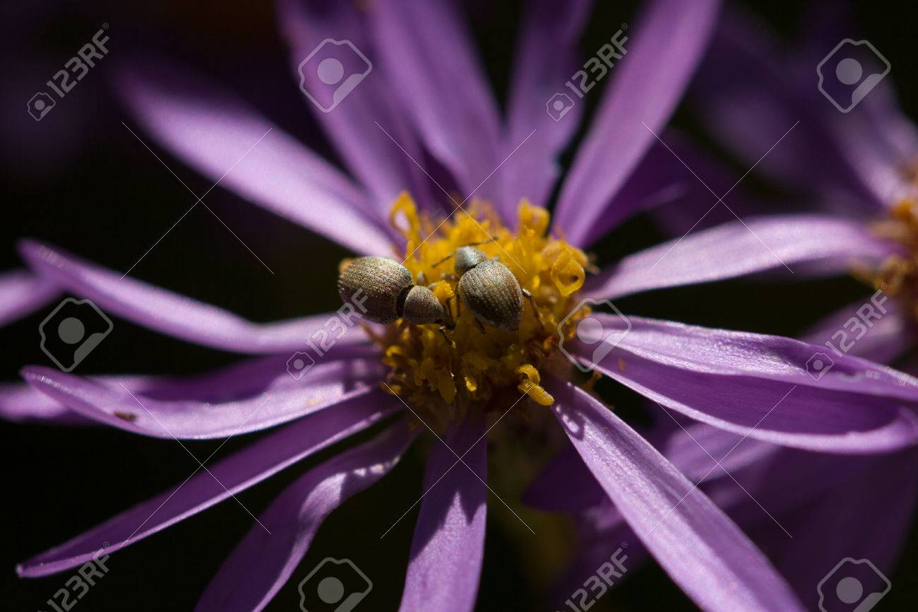 A Flower With Purple Petals And Aphids On The Yellow Center Stock