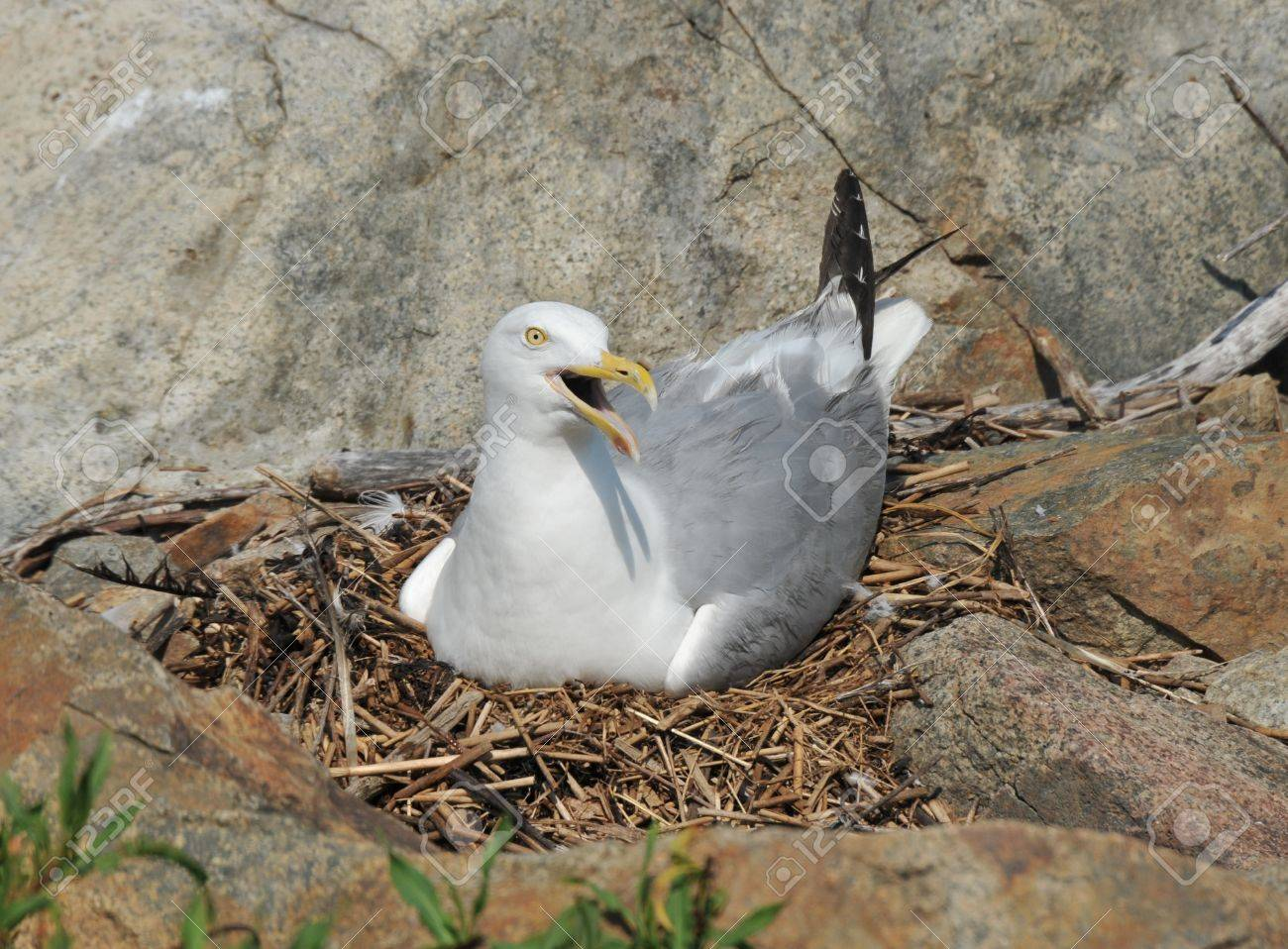 Momma seagull sitting in a nest on Thacher