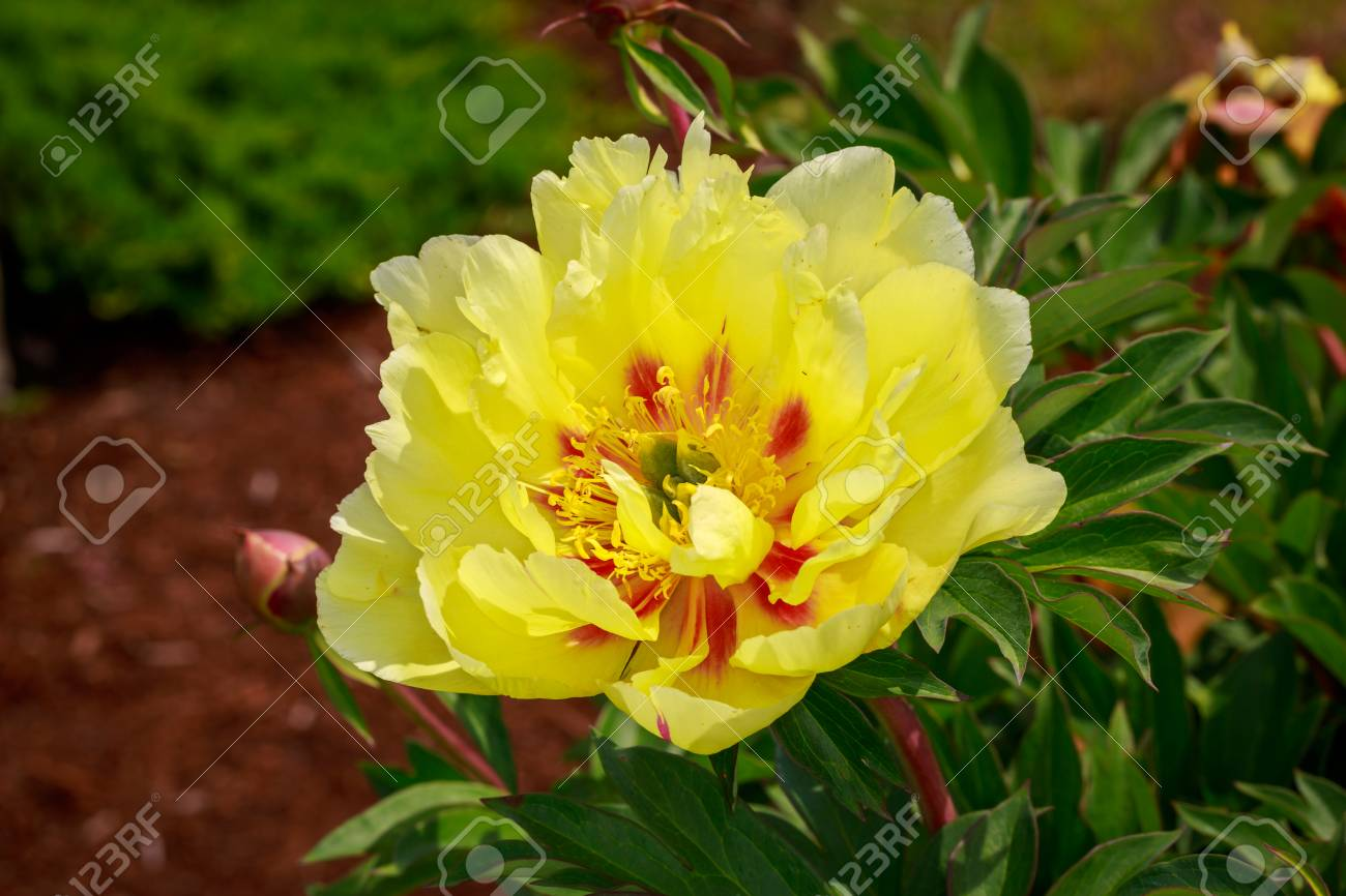 Beautiful Peony Flower Blooms In The Garden Stock Photo Picture