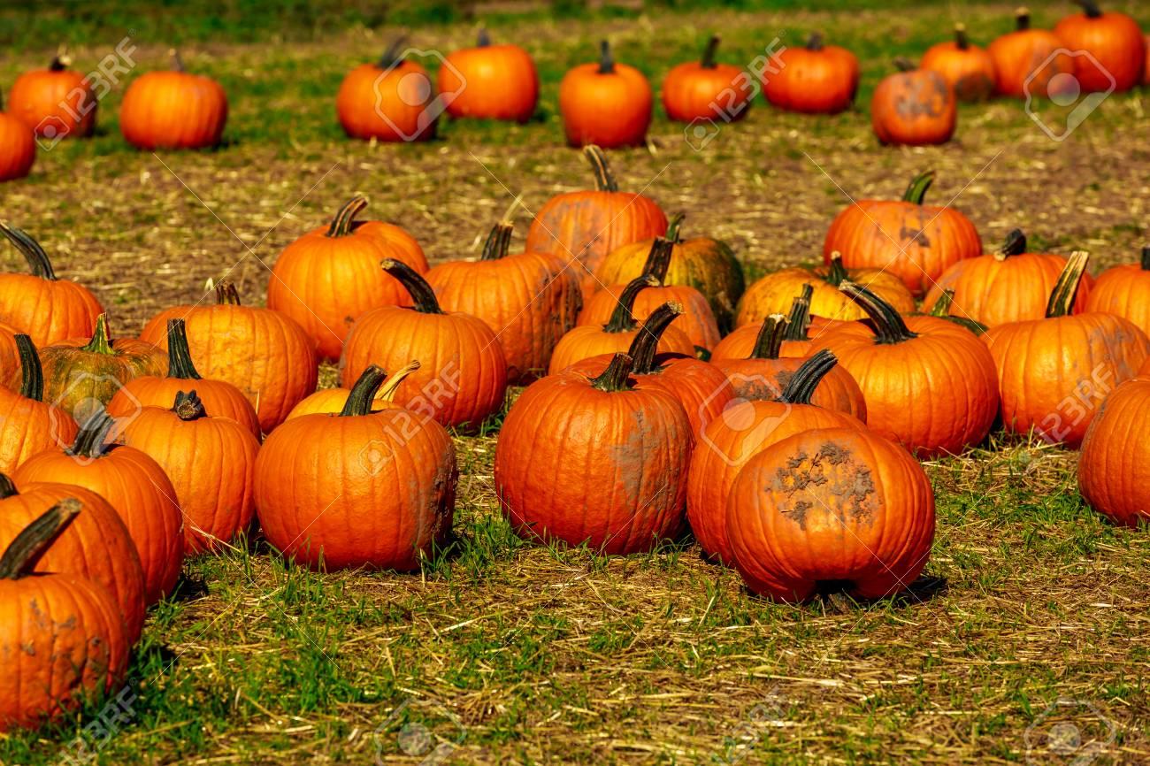 Halloween Pumpkin Patch field perfect background image.