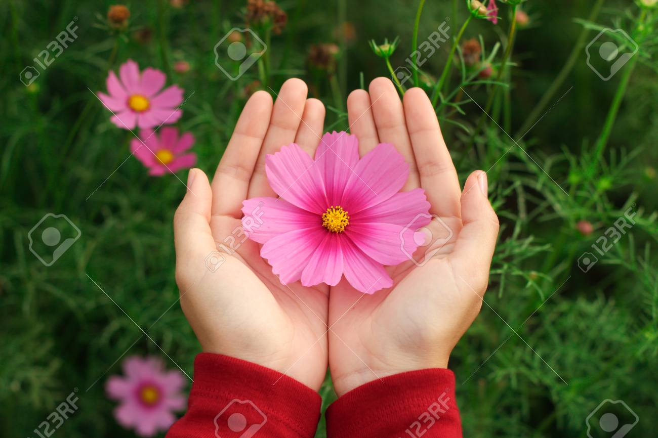 Beautiful Pink Cosmos Flower On Hand With Green Garden Background