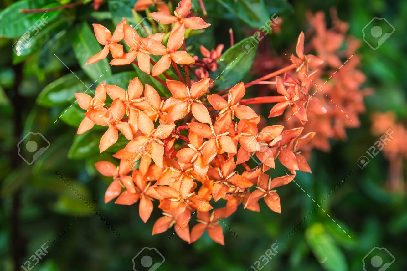 Close up bouquet of ixora flower west indian jasmine stock photo close up bouquet of ixora flower west indian jasmine stock photo 42155007 izmirmasajfo