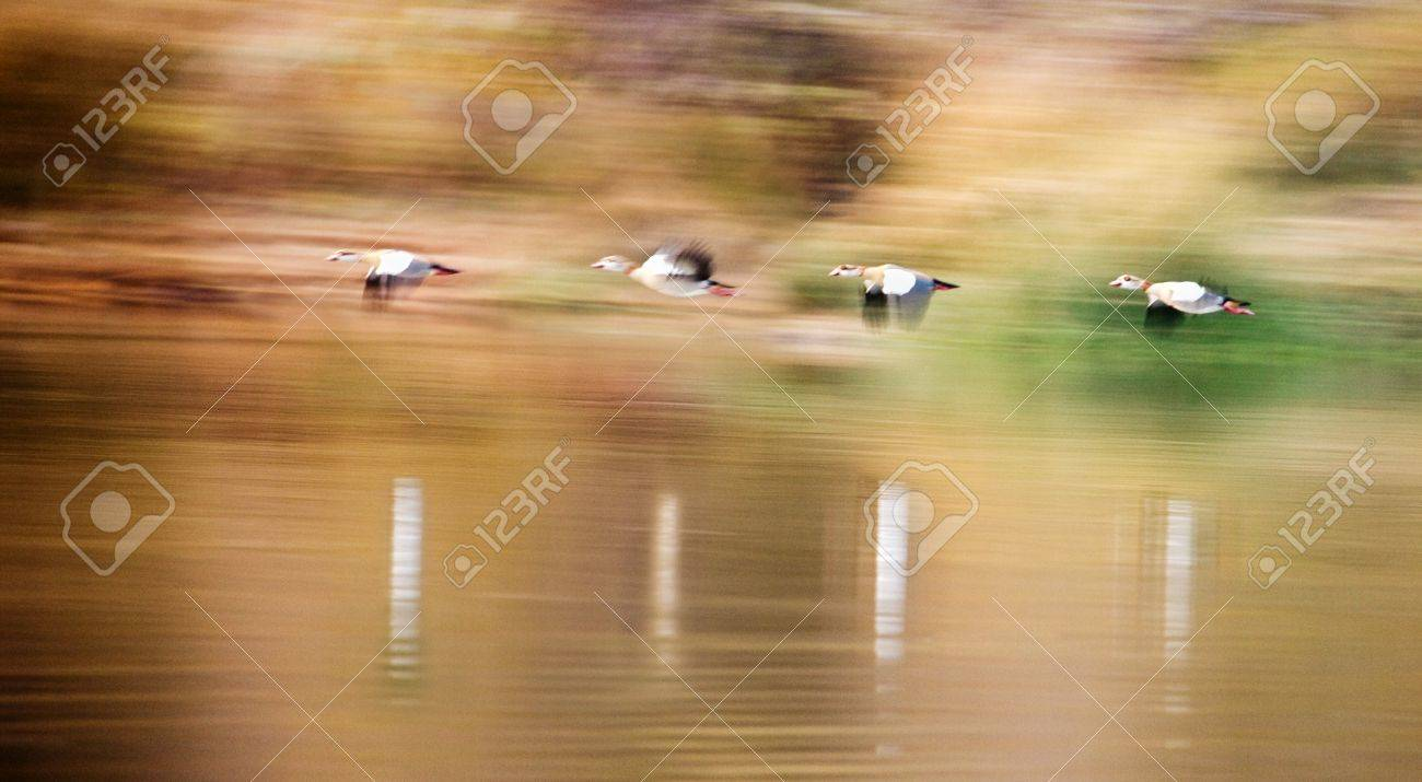 panning on a flock of egyptian ducks in formation flying across the lake ,Mokolodi ,Botswana Stock Photo - 4133346