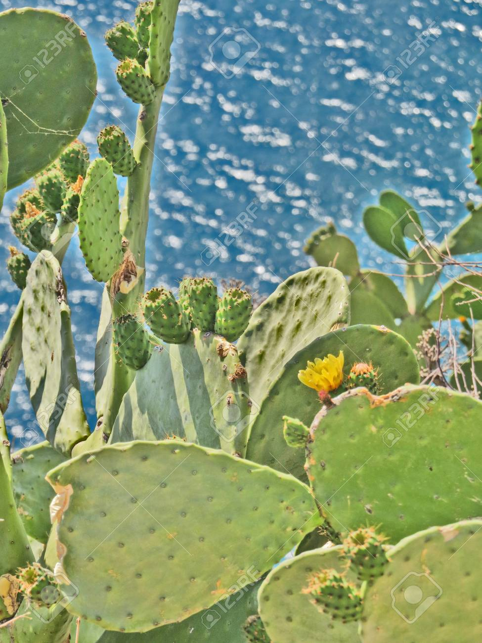 Opuntia Prickly Pear Cactus by the aegean sea Stock Photo - 90295521