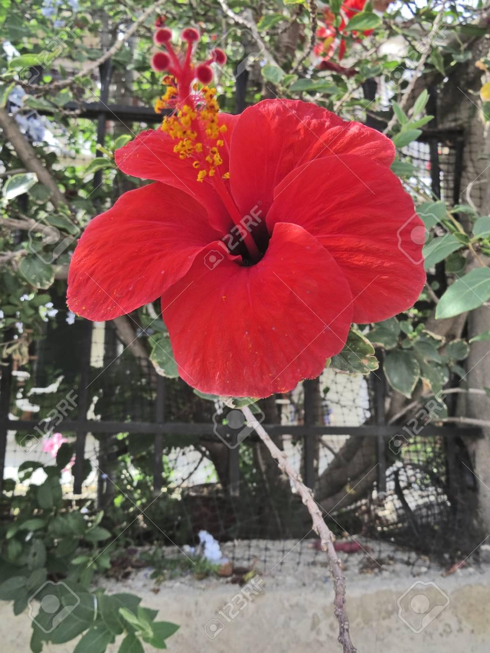 Hibiscus flower Stock Photo - 89906565