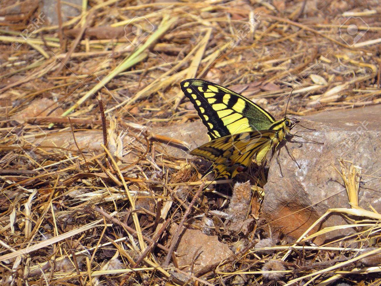 Swallowtail butterfly papilio machaon Stock Photo - 80610602